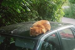 gato rojo durmiendo