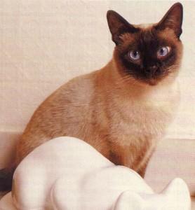 gato siames clasico