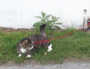 gato paseando con arnes