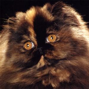 gato persa tortuga