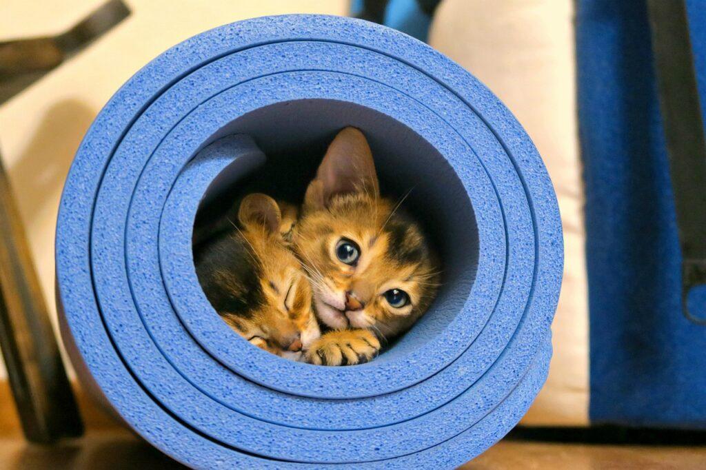 gatitos abisinios