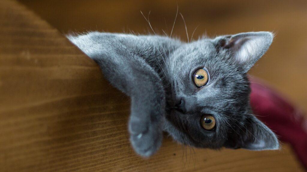 gato cartujo jugando