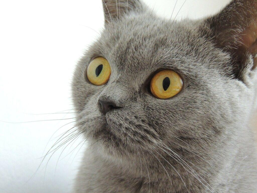 gato british shorthair azul
