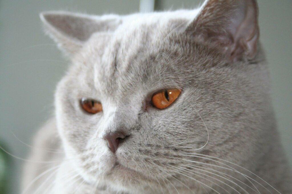 gato british shorthair lila