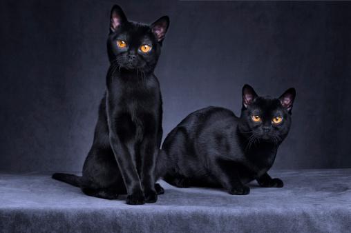 dos gatos bombay