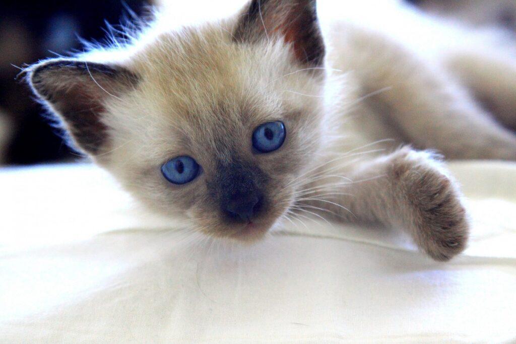 gatito balinés