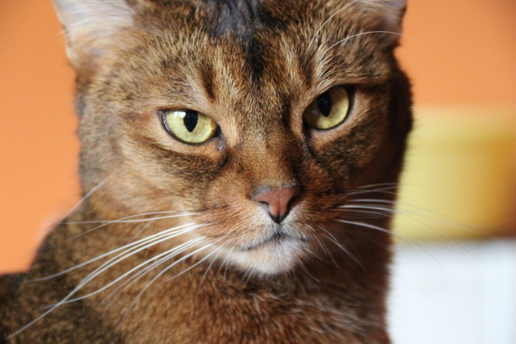 gato abisinio mirando al frente