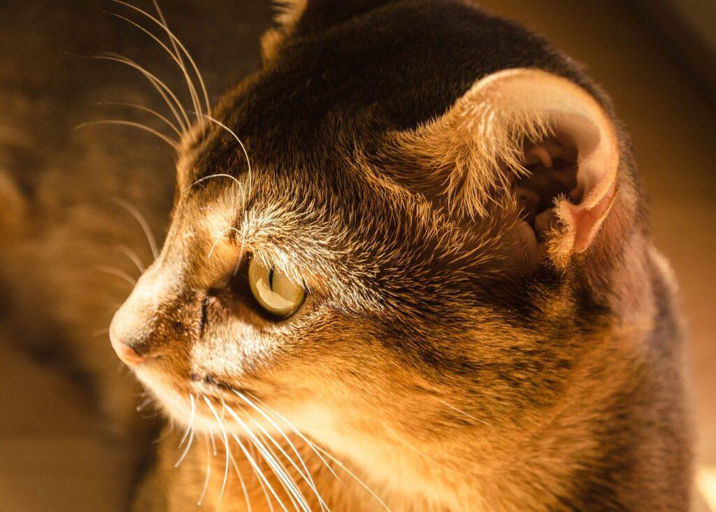 gato abisinio de perfil