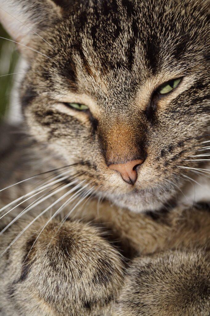 gato anciano con calor