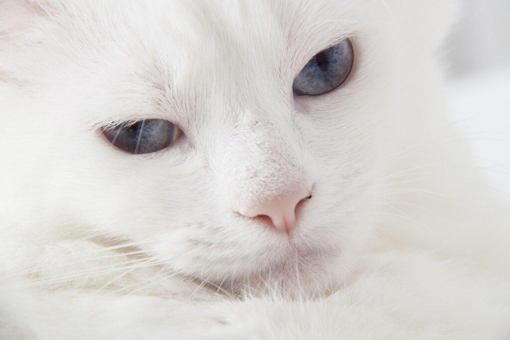 gato angora turco blanco con ojos azules