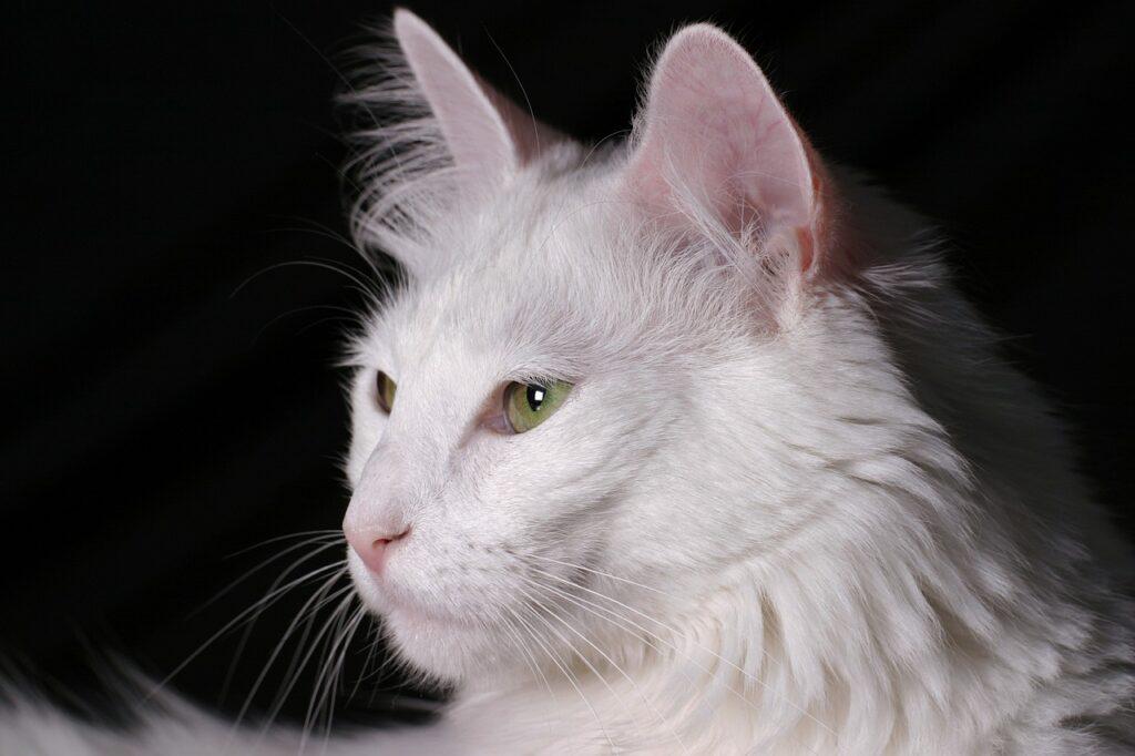 gato angora turco blanco con ojos verdes