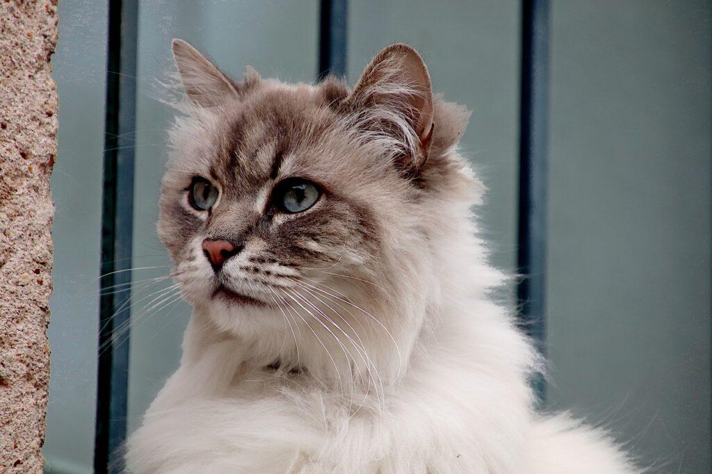 gato angora turco tabby