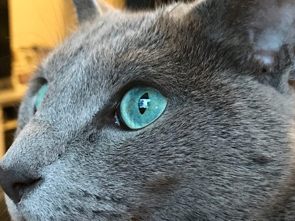 gato azul de rusia