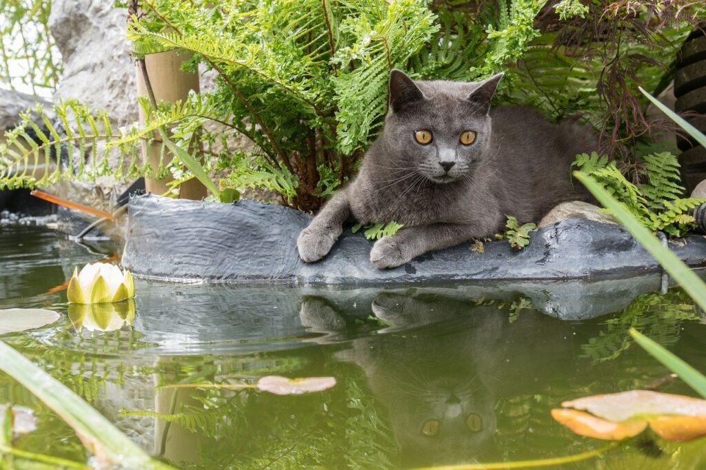 gato cartujo pescando