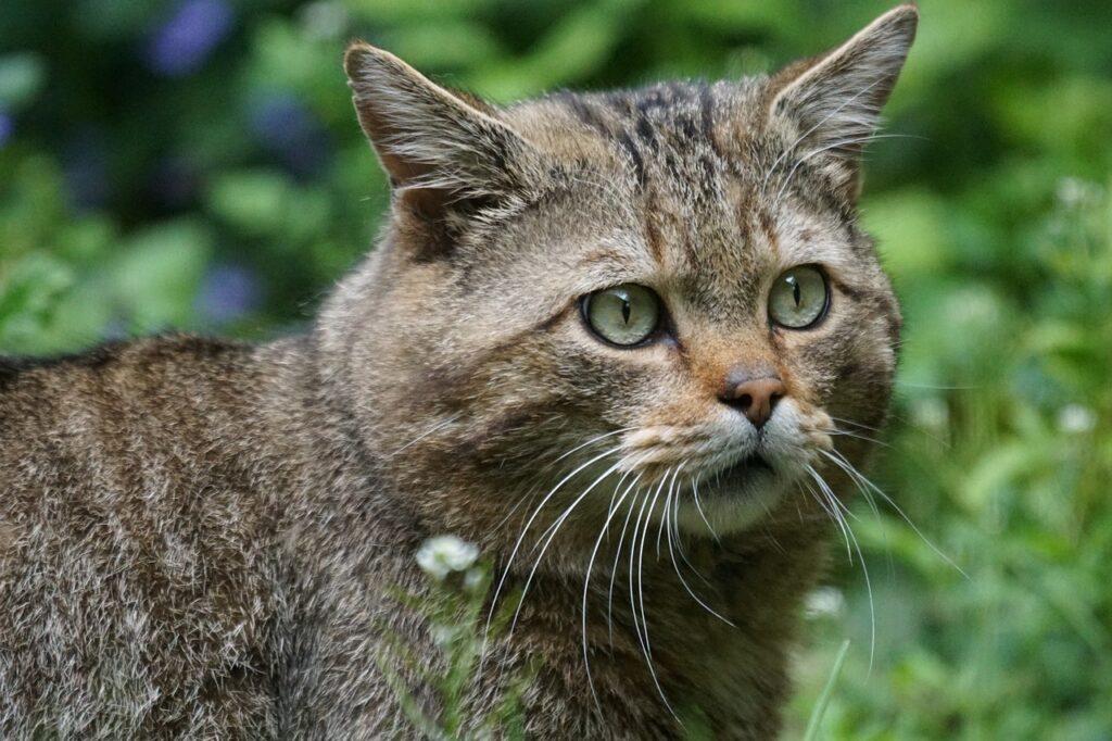 gato salvaje o felis silvestris