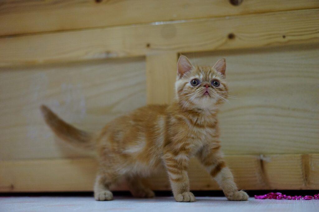 gatito exotic shorthair naranja