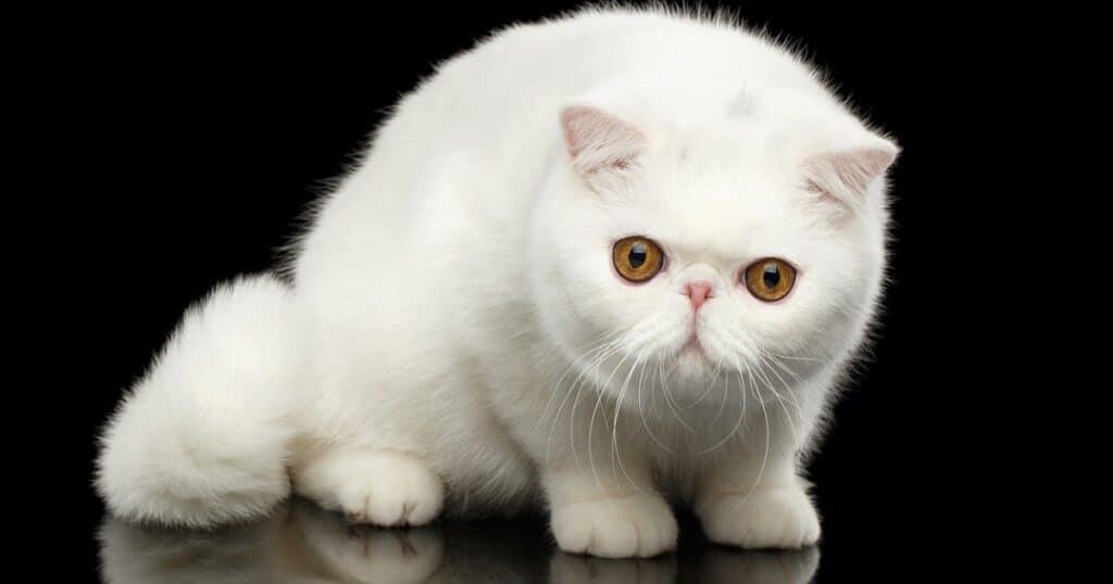 gato exotic shorthair blanco