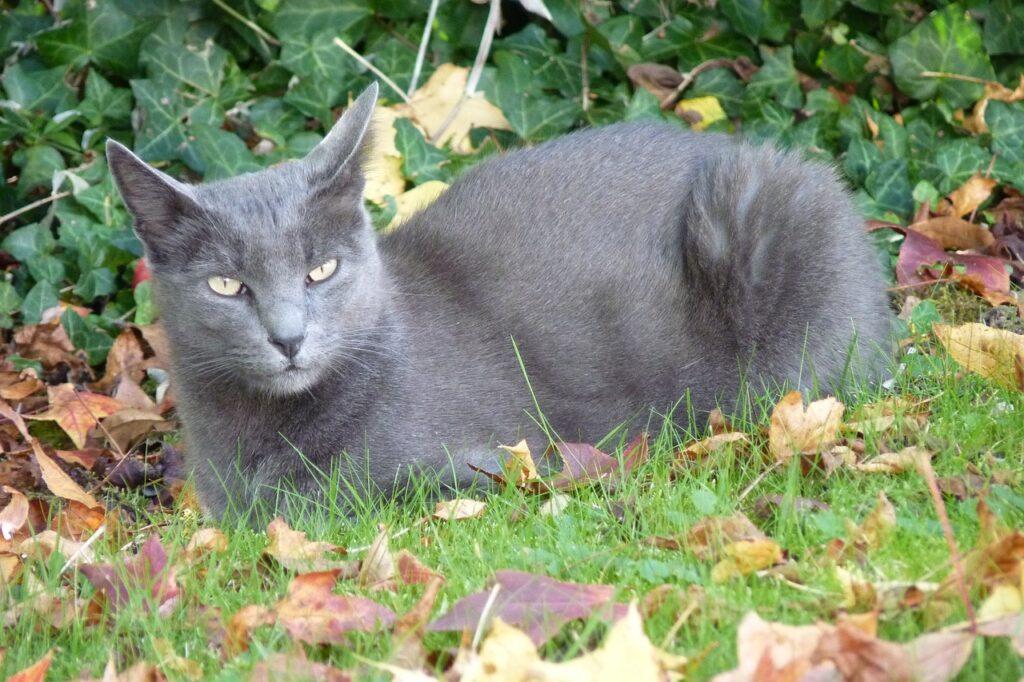 gato korat en el exterior