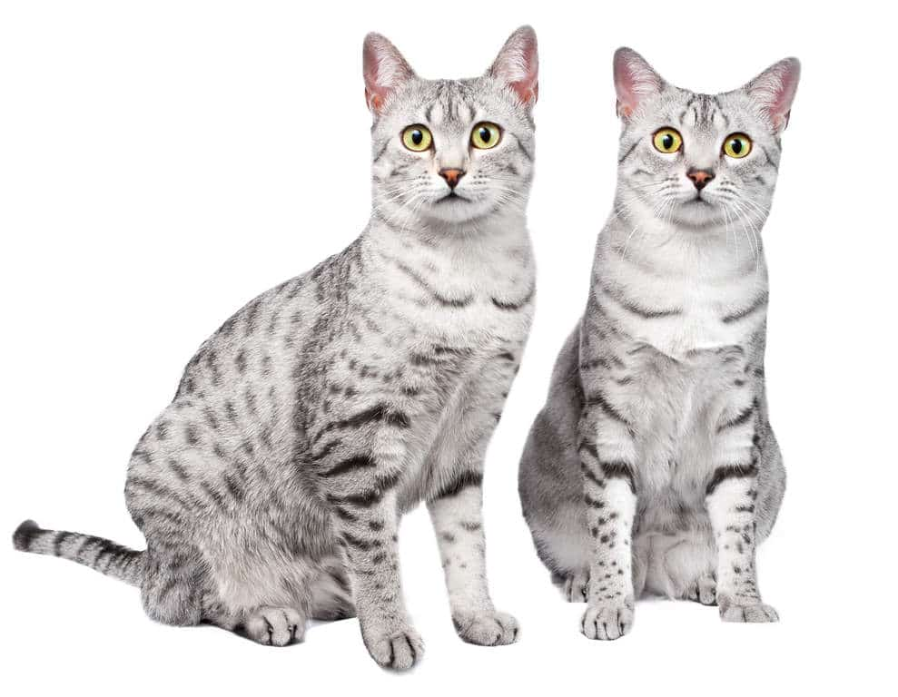 2 gatos mau egipcio color plata