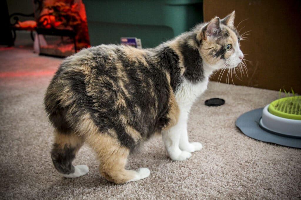 gato manx calico