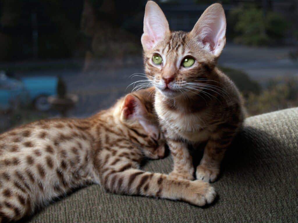 cachorros de gato ocicat