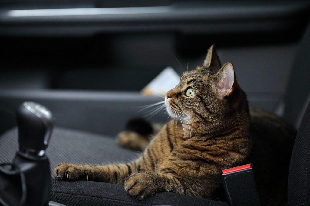gato en coche