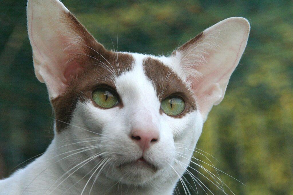 gato riental